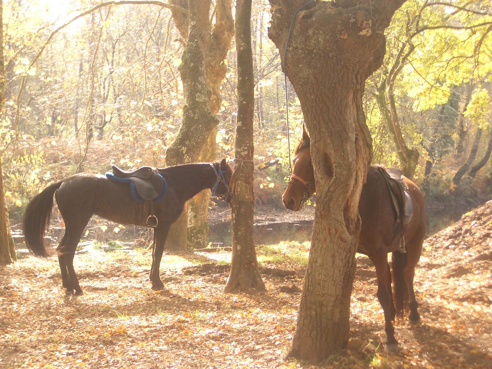 Rutas a caballo en Galicia . Caballos para nivel iniciación , medio y avanzado